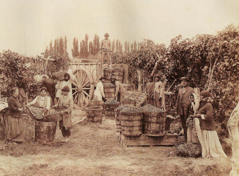 Mendoza grape harvest, circa 1890.