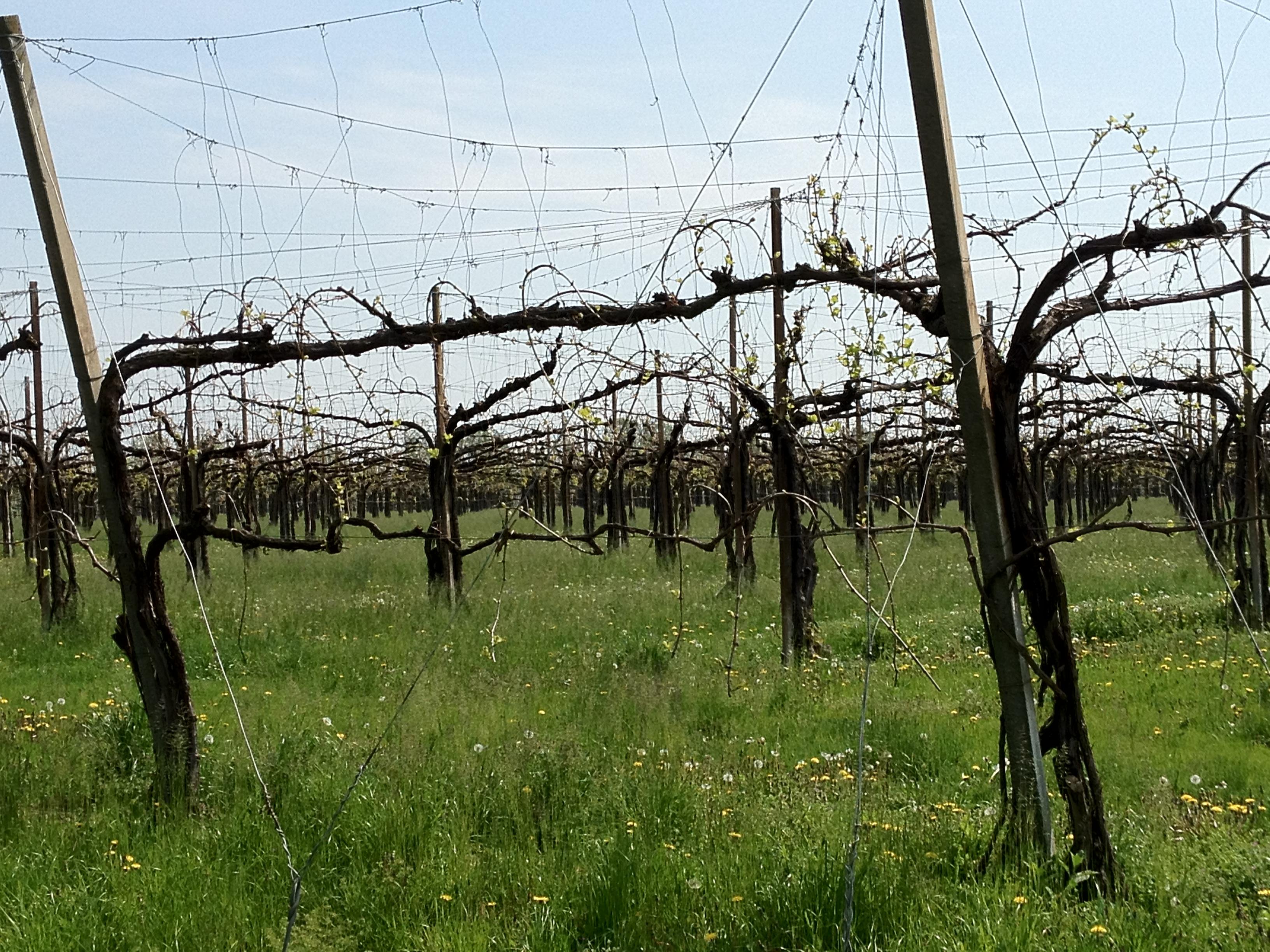 File vigneto beussi 02 jpg wikimedia commons - Potatura uva da tavola ...