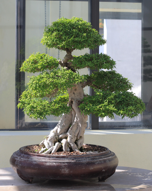 Water_Jasmine_bonsai_711%2C_October_10%2C_2008