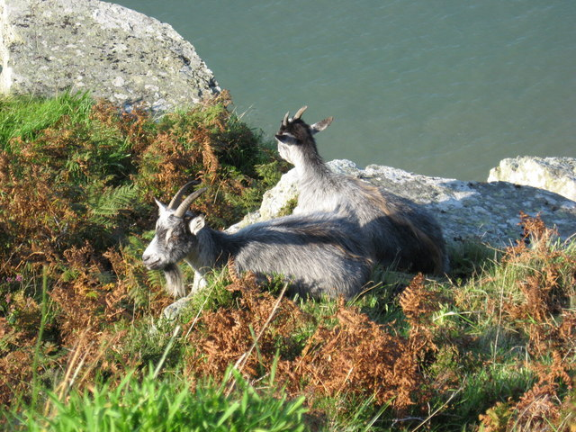 Wild goats on the coastal path, Valley of the Rocks - geograph.org.uk - 1395032