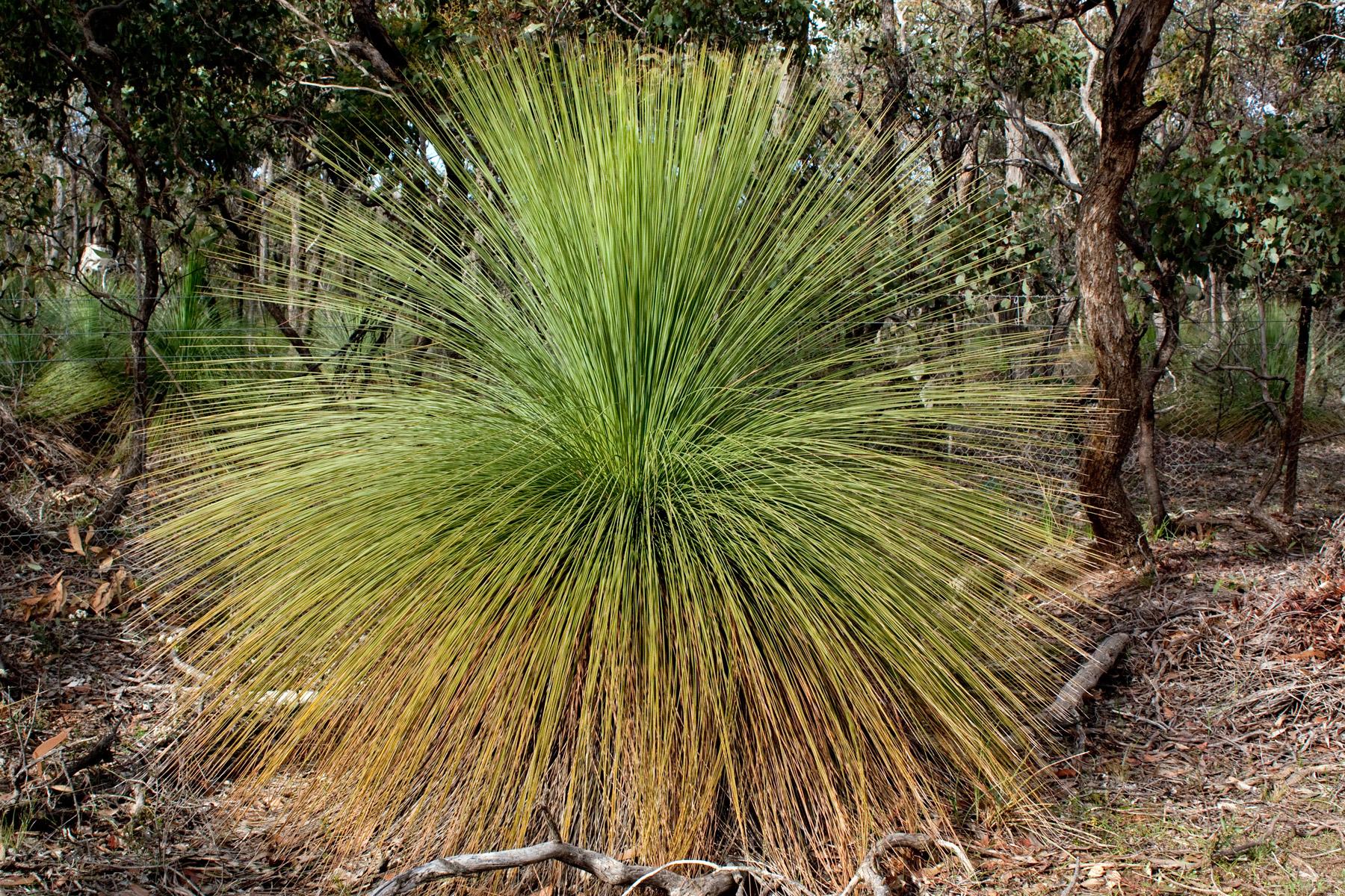 file xanthorrhoea australis  grass tree
