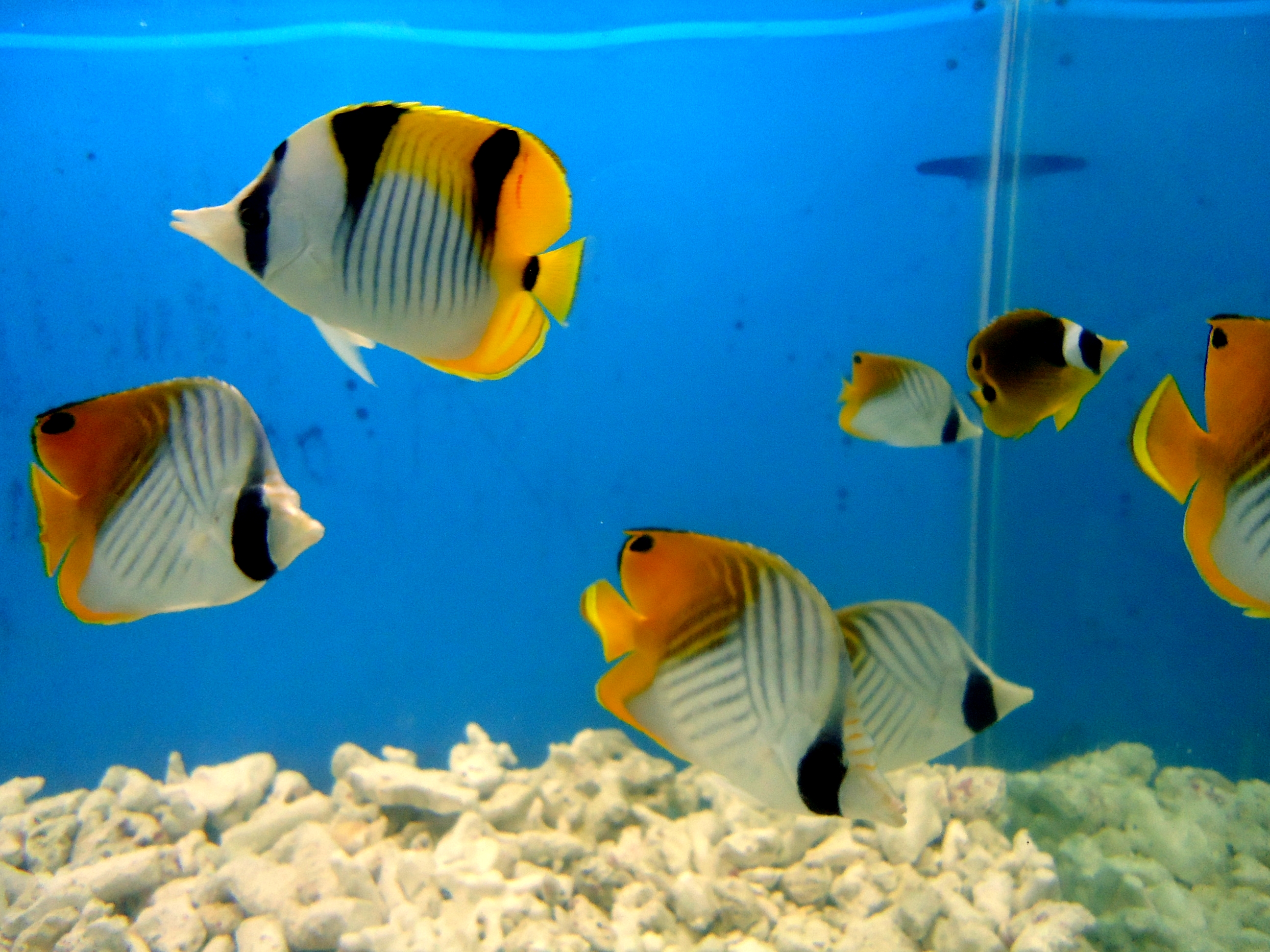 File yellow aquarium fish jpg wikimedia commons for Easy aquarium fish