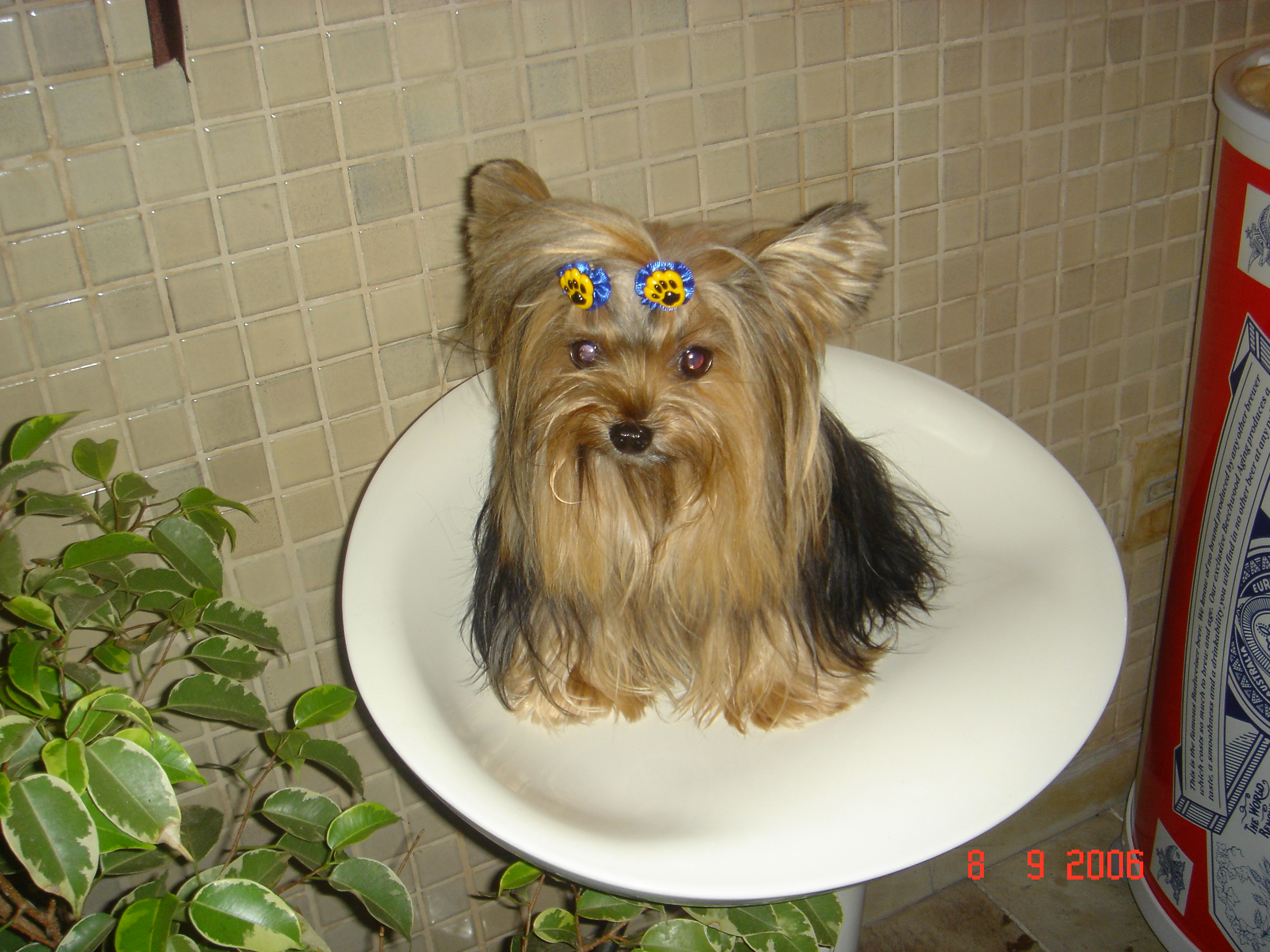 yorkshire terrier colors and markings