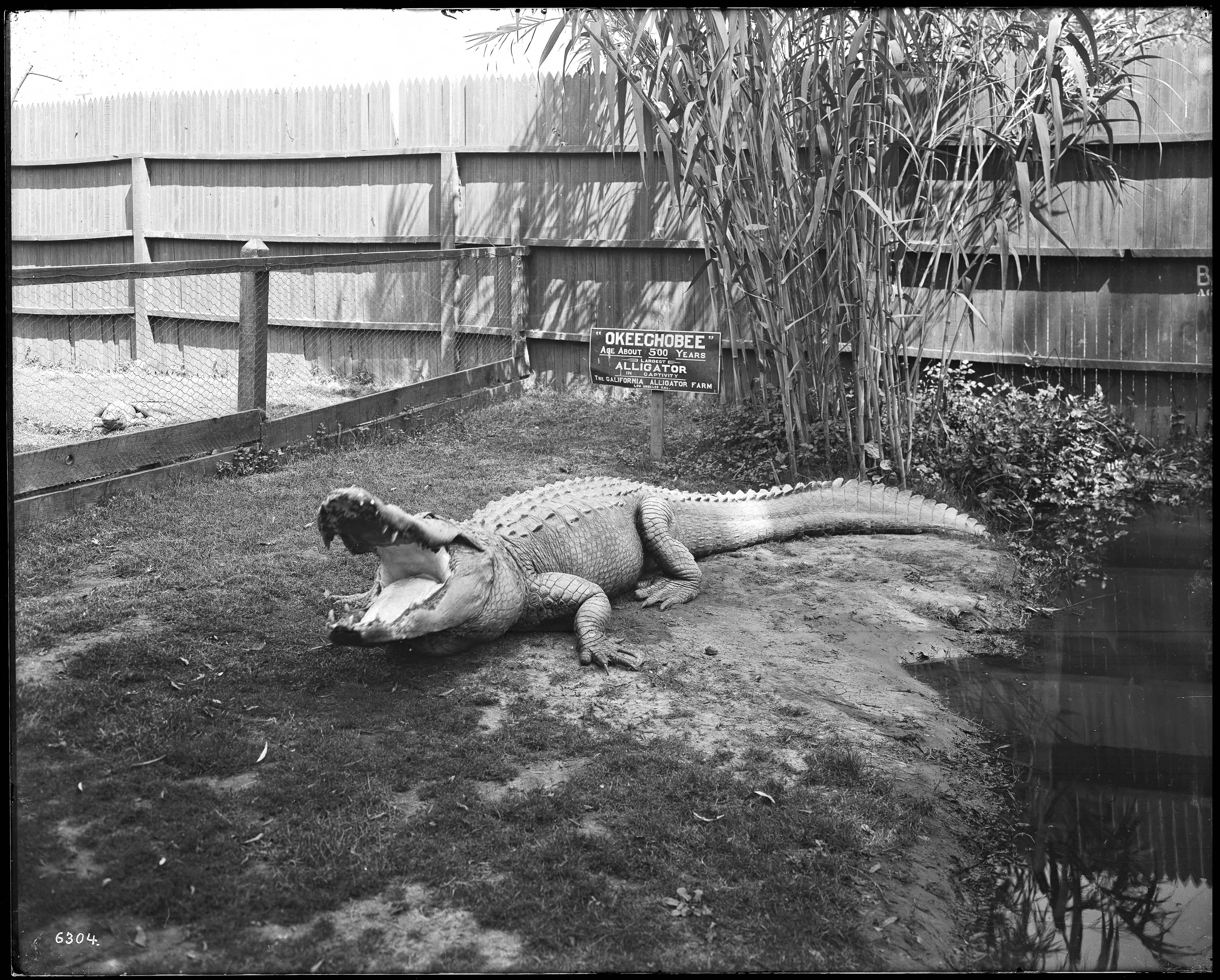 Alligator Glass