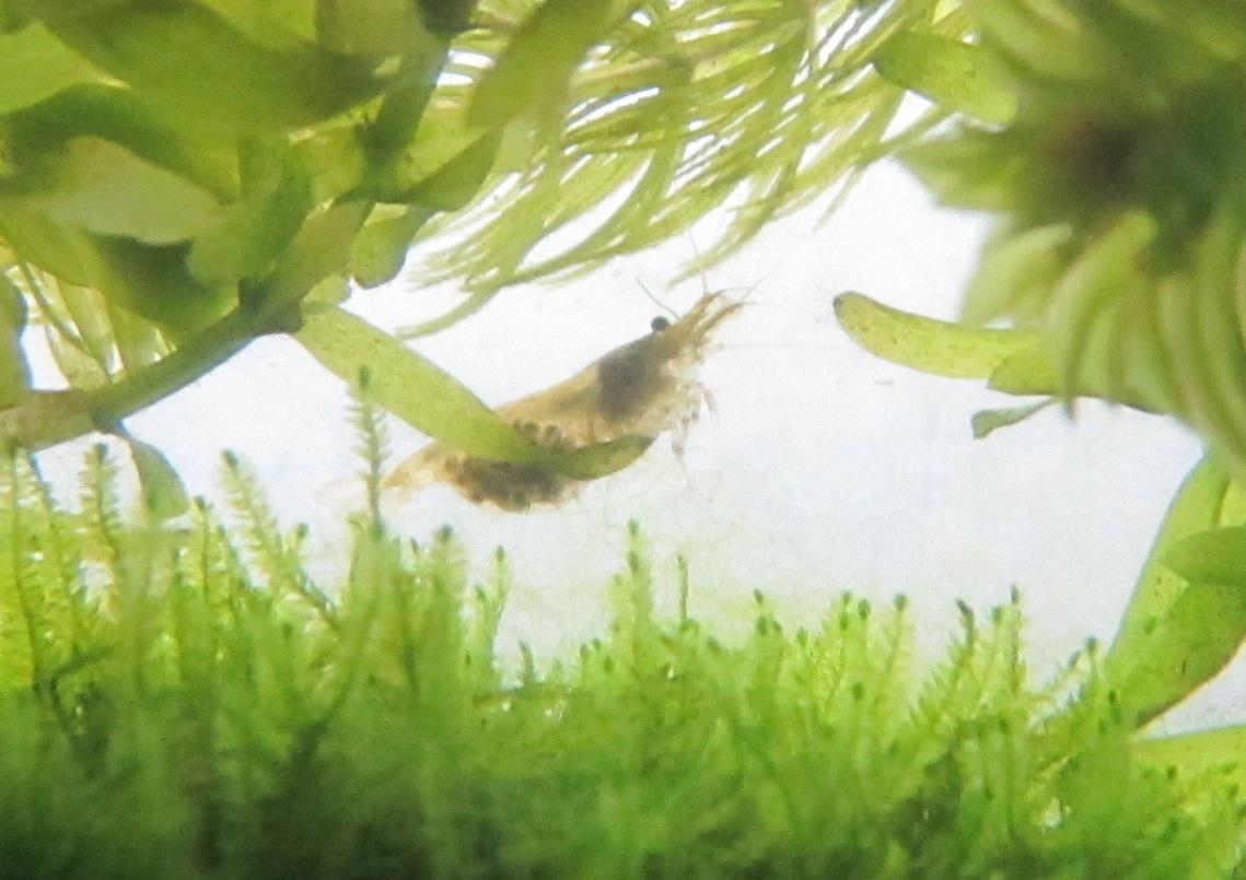 抱卵するミナミヌマエビ20120701.jpg