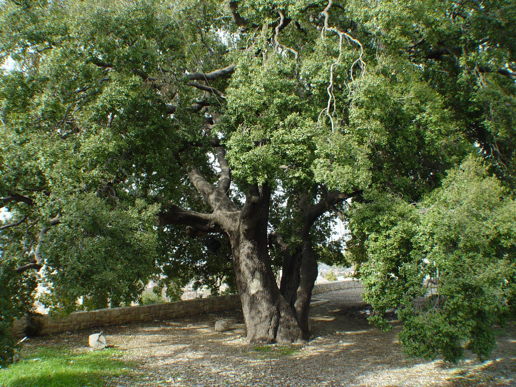 500 Year Old Oak Tree