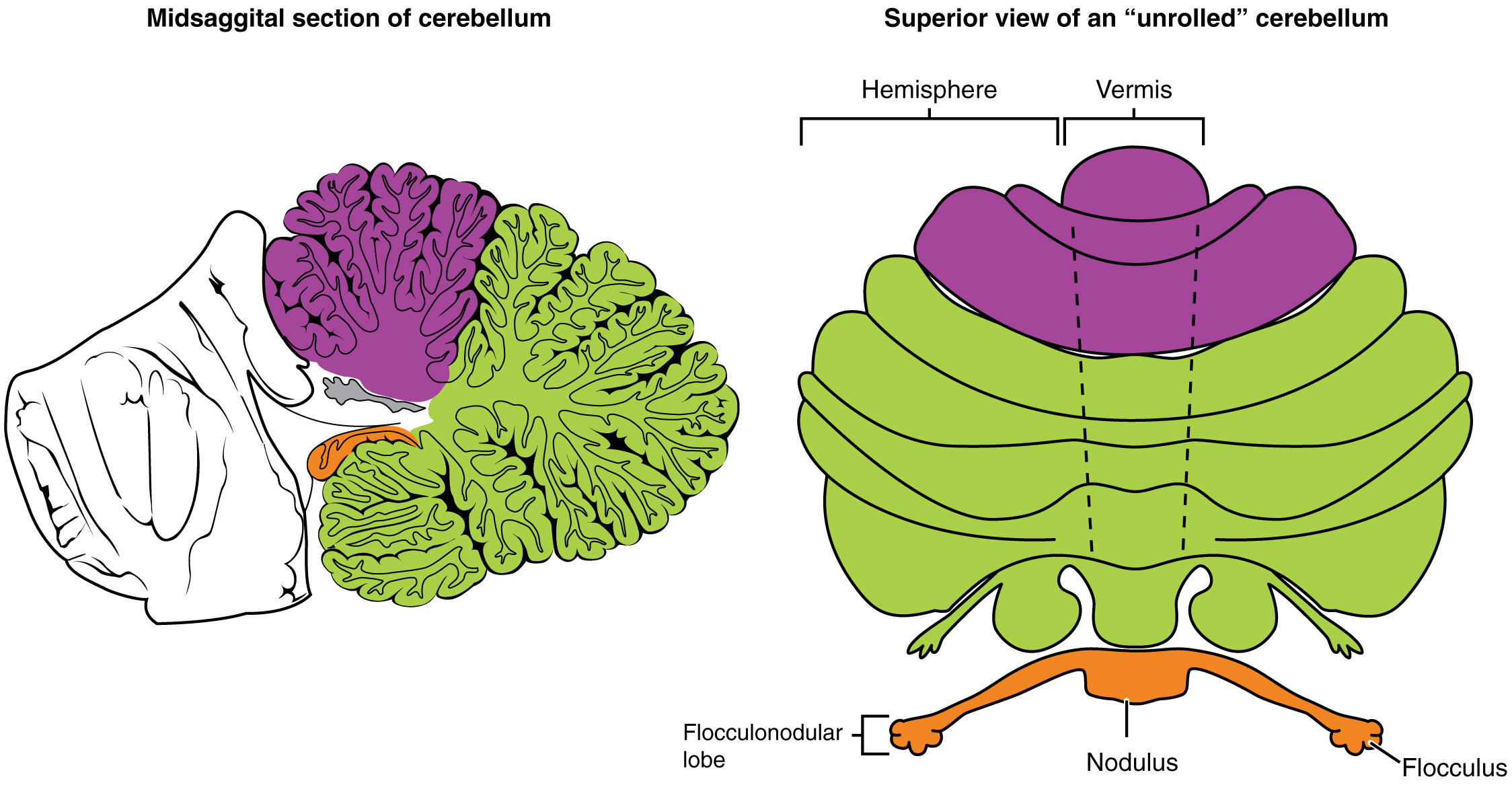 File:1613 Major Regions of the Cerebellum-02.jpg - Wikimedia Commons