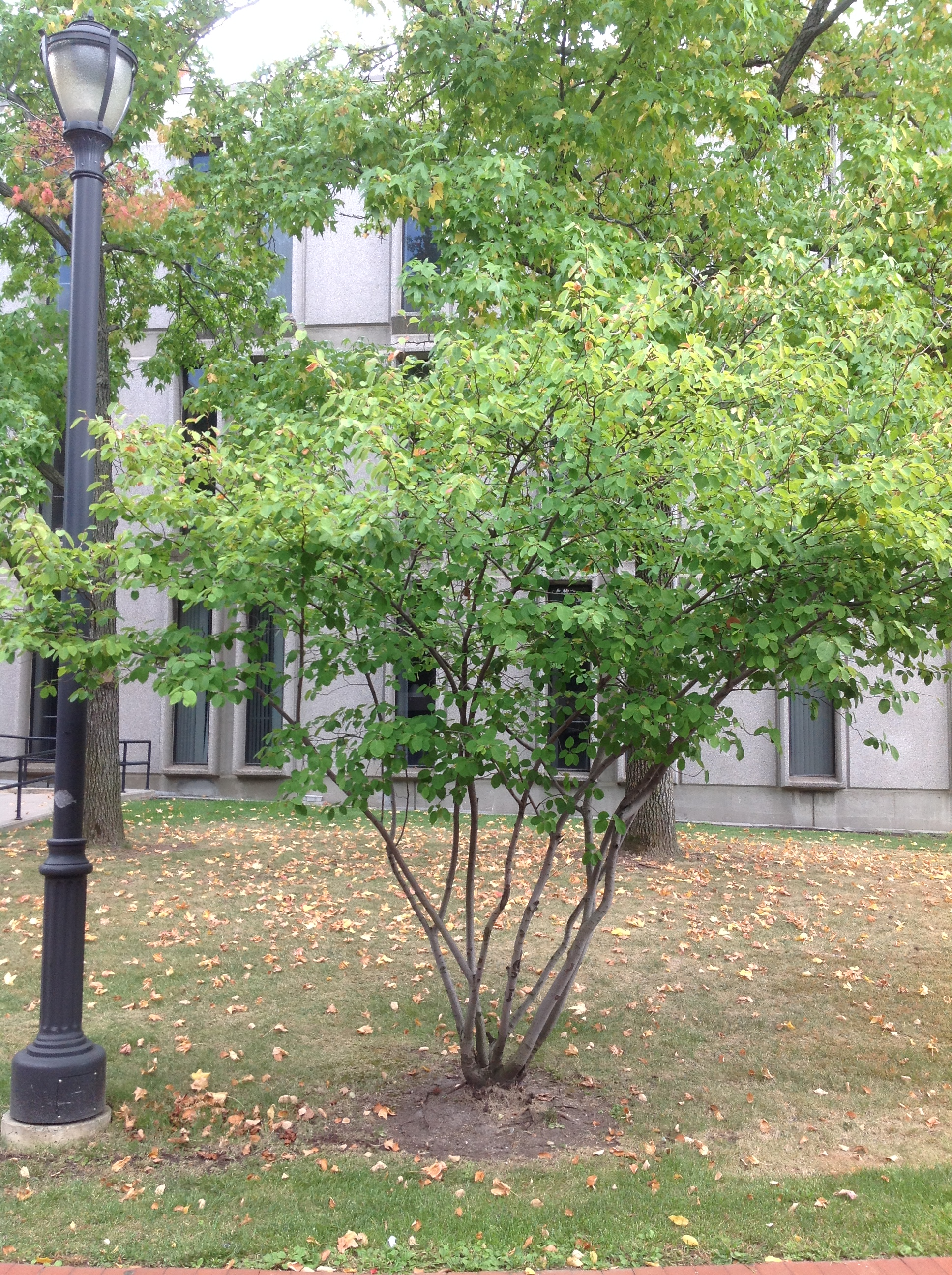 File a21 1 amelanchier laevis allegheny serviceberry jpg for Serviceberry tree