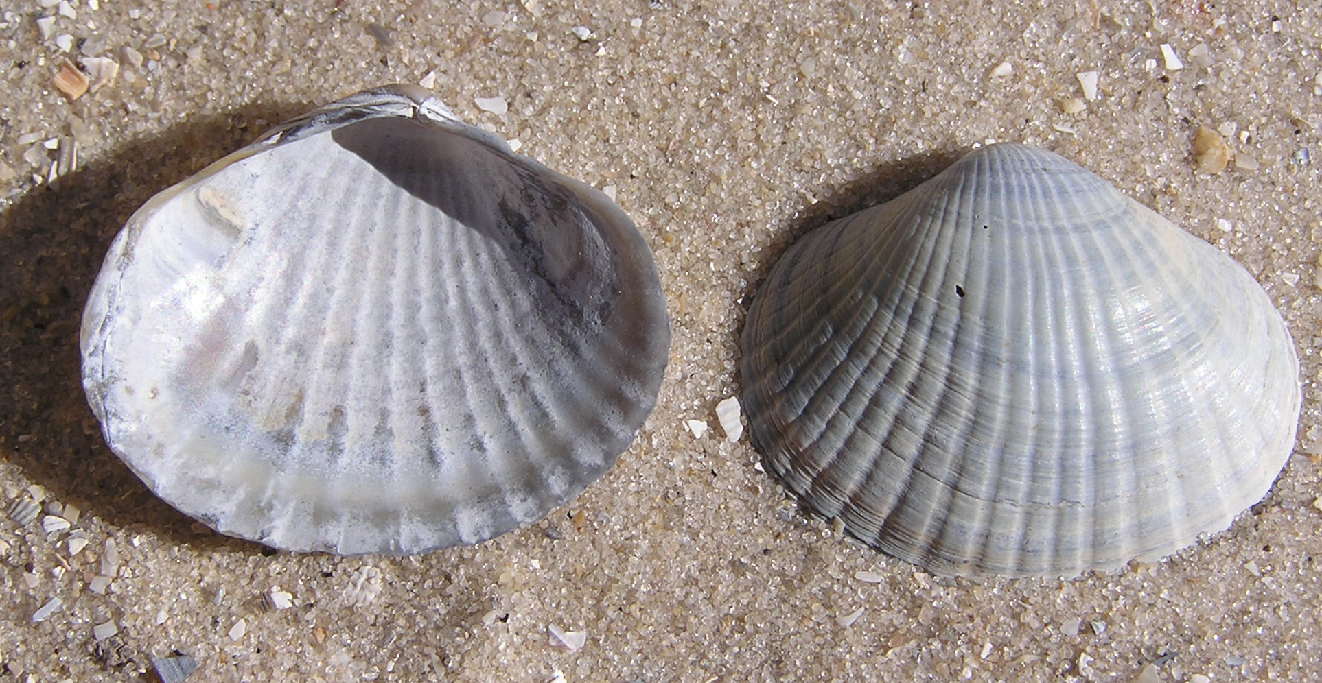 mollusk dating Molluska the phylum molluska is one of the largest of all animal groups not only does it contain about 110,000 living species, the f ossil record indicates a long and extensive history.