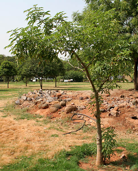 File Adansonia Digitata Baobab Young Tree In Hyderabad