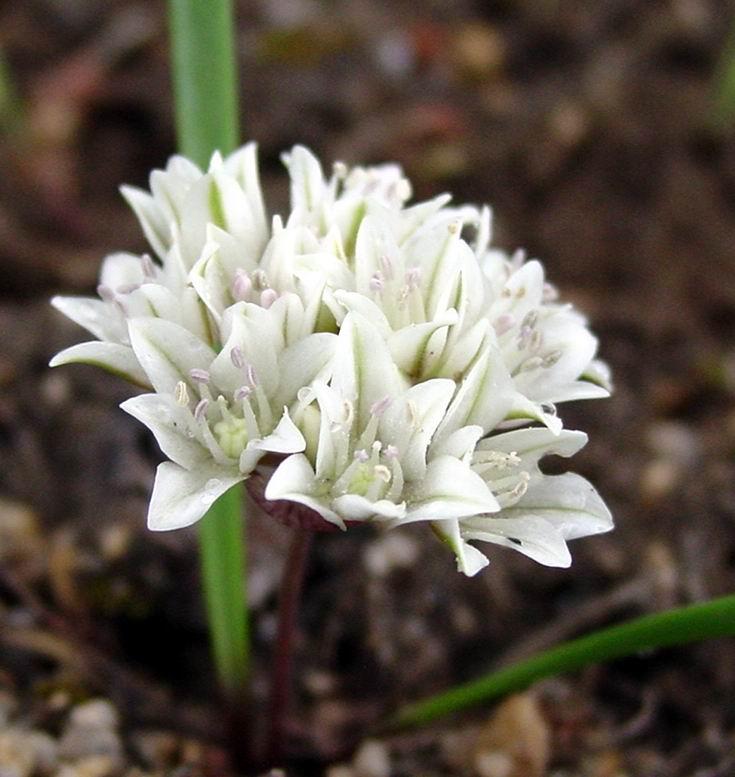 Alliumbrandegeei.JPG