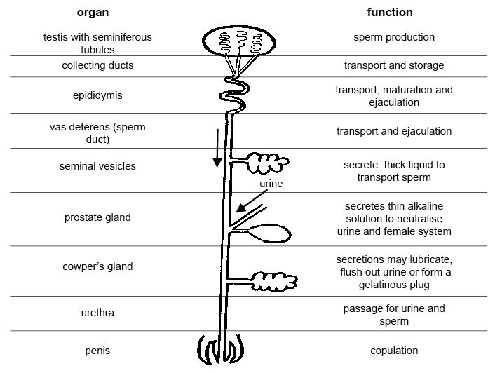 Anatomy and physiology of animals Diagram summarising the functions of the male reproductive organs.jpg