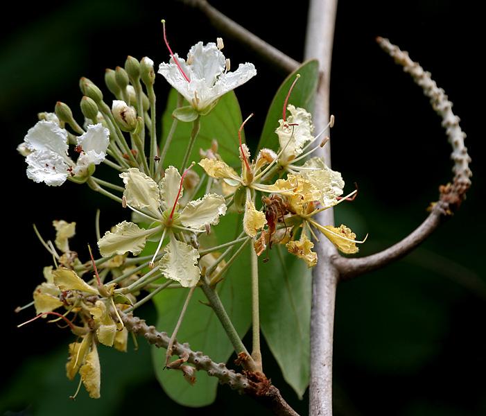 പ്രമാണം:Bauhinia vahlii in Ananthagiri forest, AP W IMG 9203.jpg