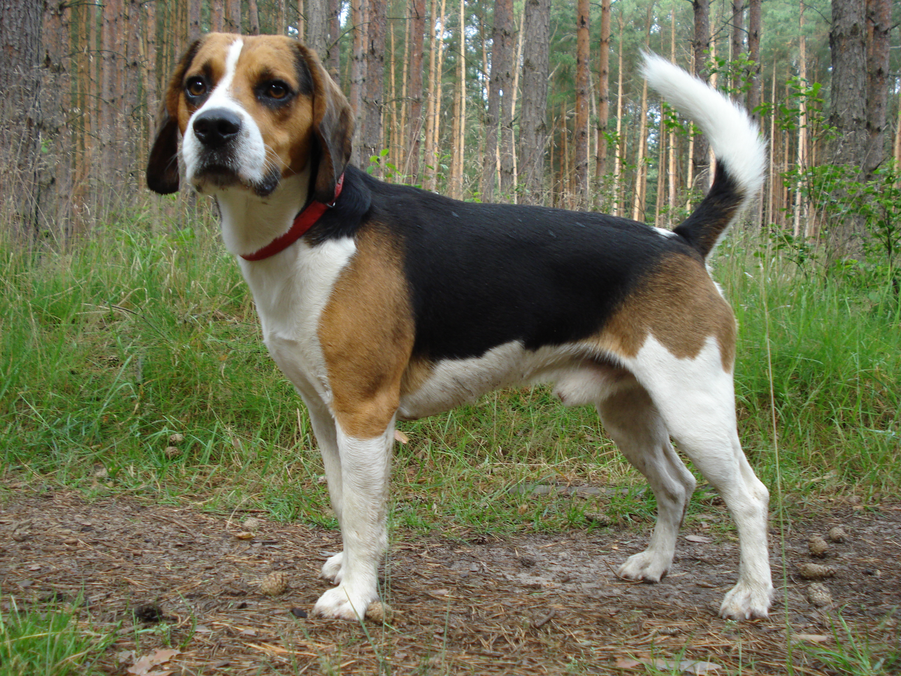 File:Beagle harrier.JPG - Wikimedia Commons