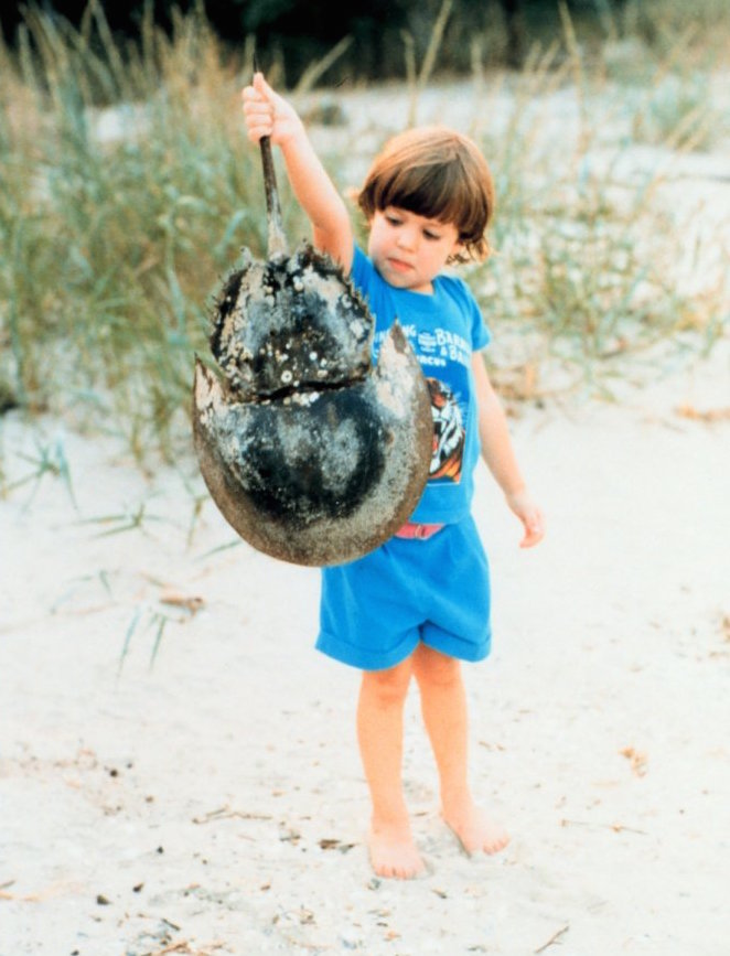 http://upload.wikimedia.org/wikipedia/commons/c/cd/Boy_with_horseshoe_crab_shell.jpg