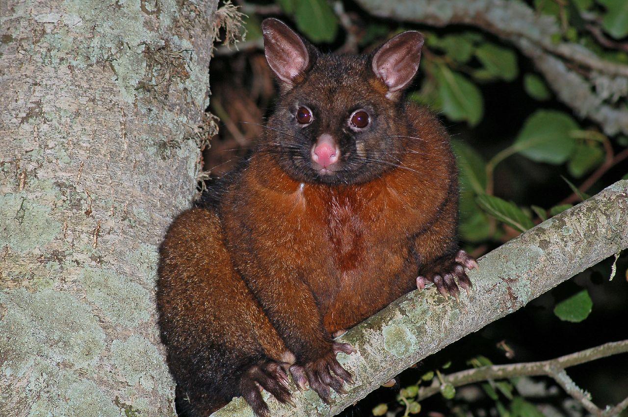 https://upload.wikimedia.org/wikipedia/commons/c/cd/Brushtail-Possum.jpg