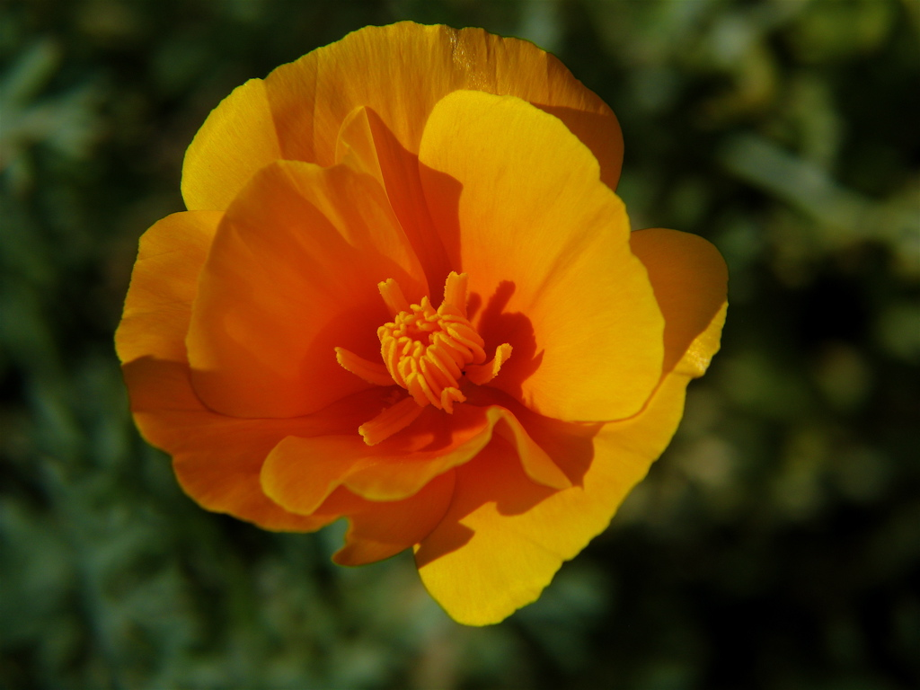 File California Poppy 3 Wikimedia mons