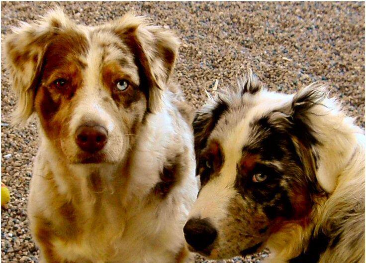 Aussie Dog Eyes Anatom