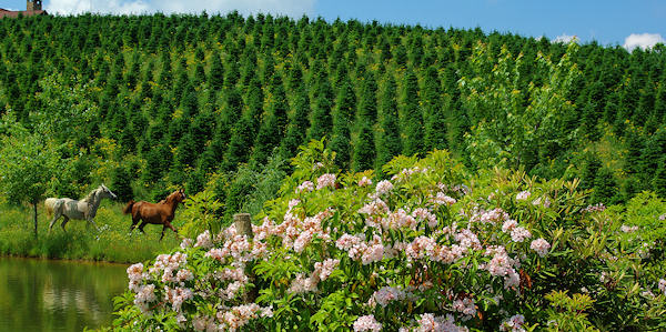 File:Christmas Tree Farm in Little Switzerland, NC.jpg - Wikimedia ...