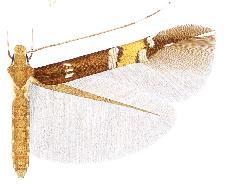 <i>Cosmopterix clandestinella</i> Species of moth