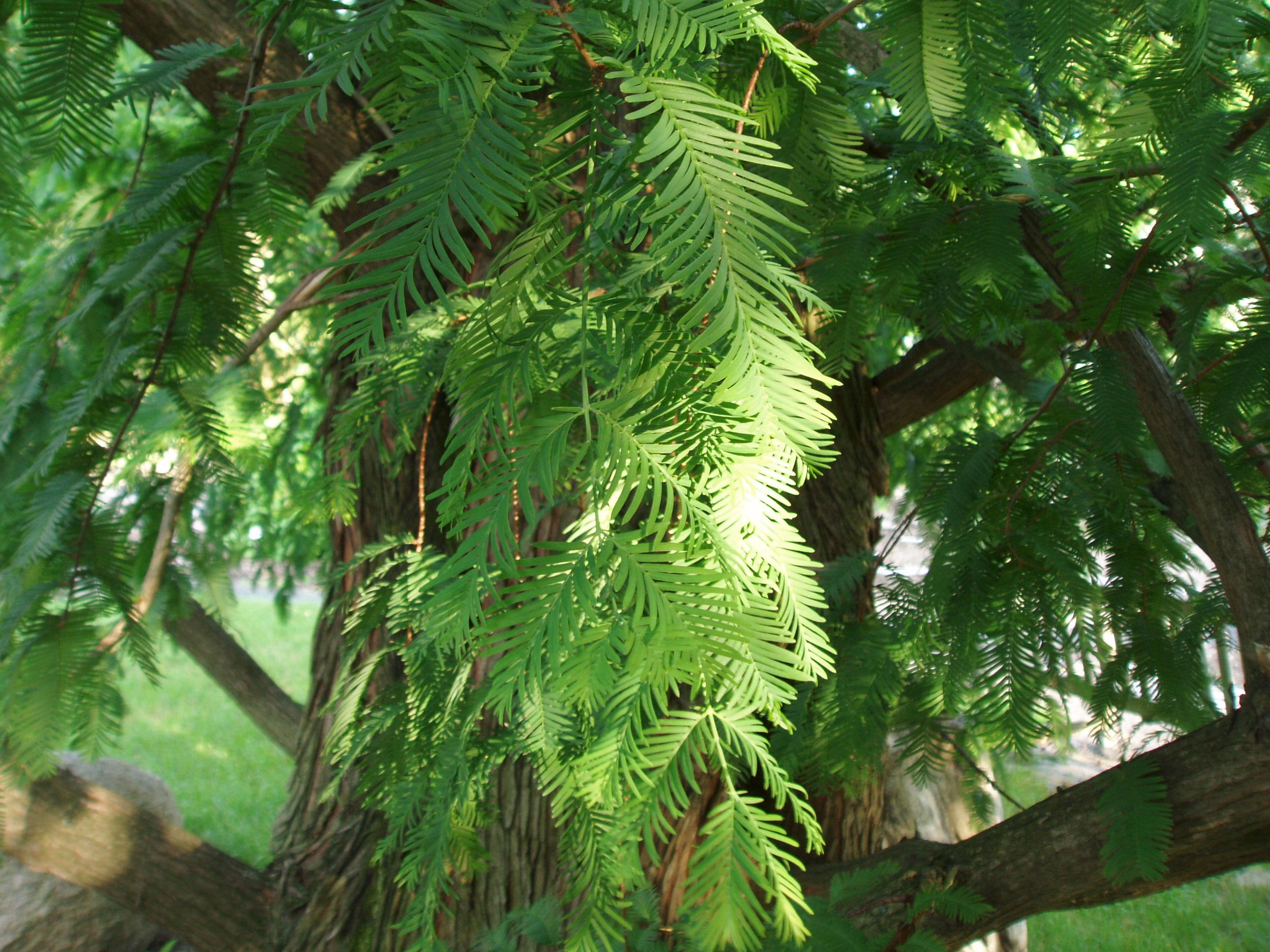 The Plant Library Scientific Name Metasequoia