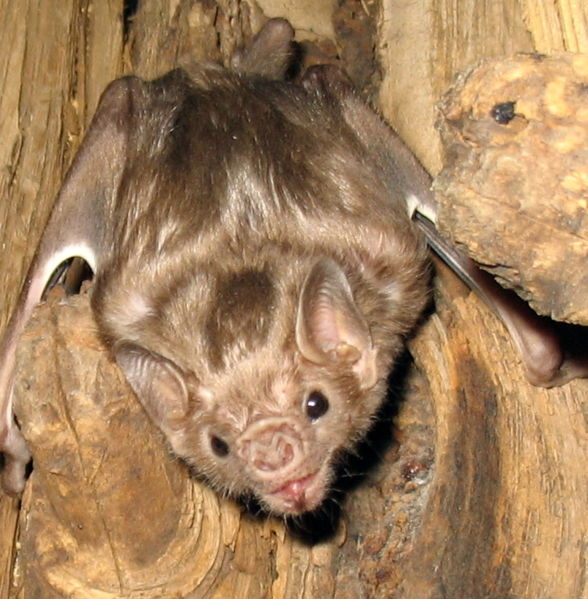 Bat, nietoperz