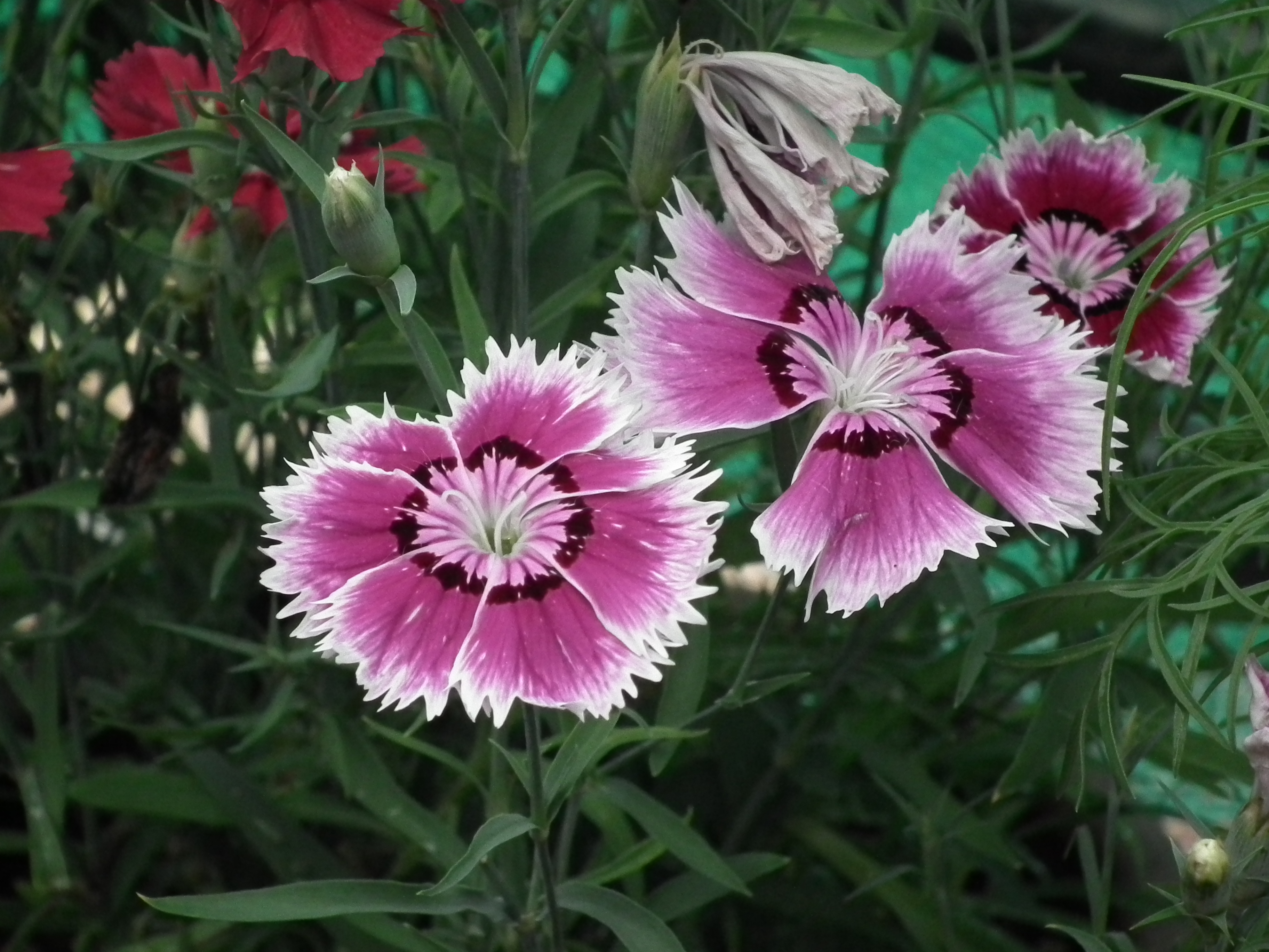 File Dianthus barbatus or Sweet William from Lalbagh