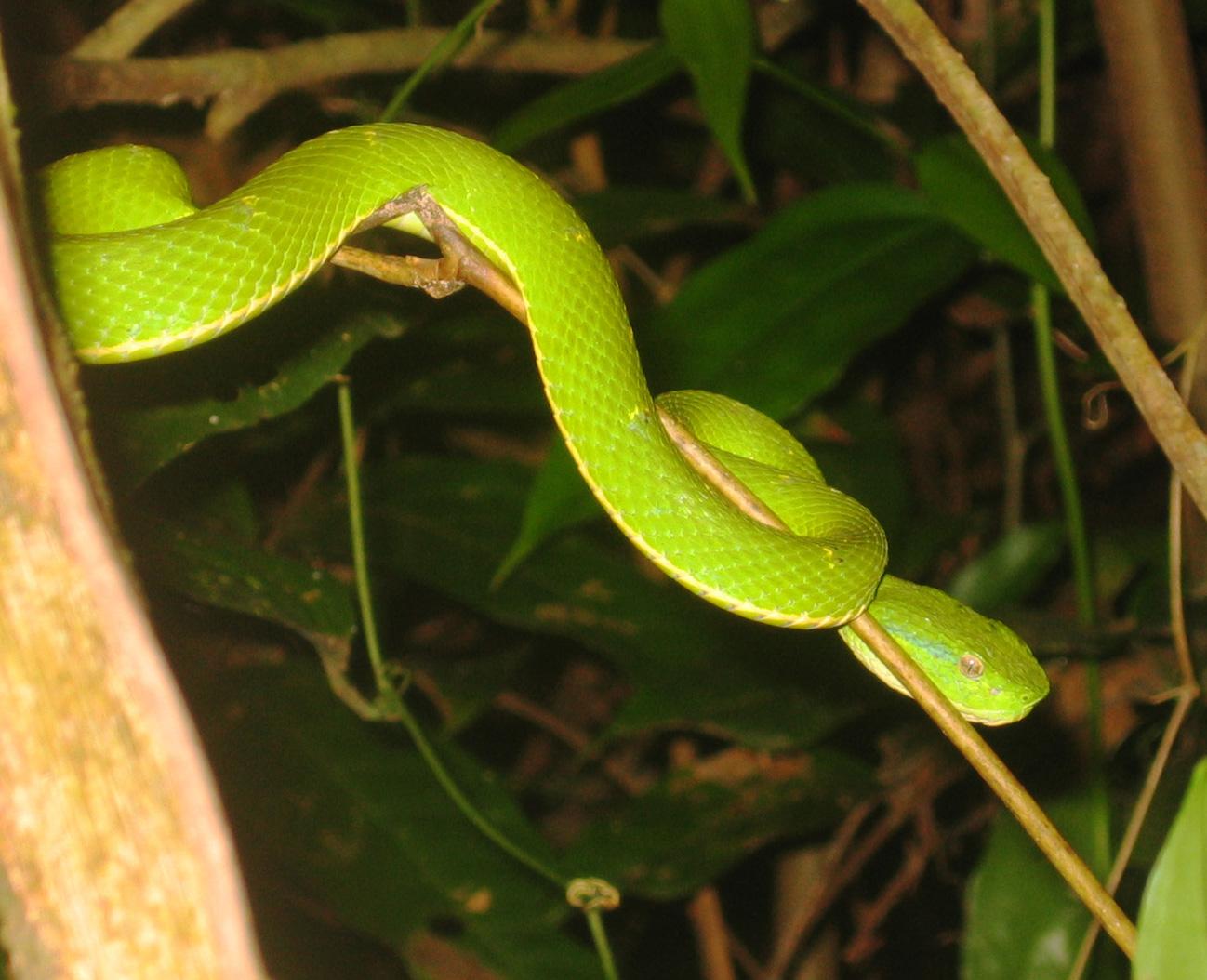 pit viper representation