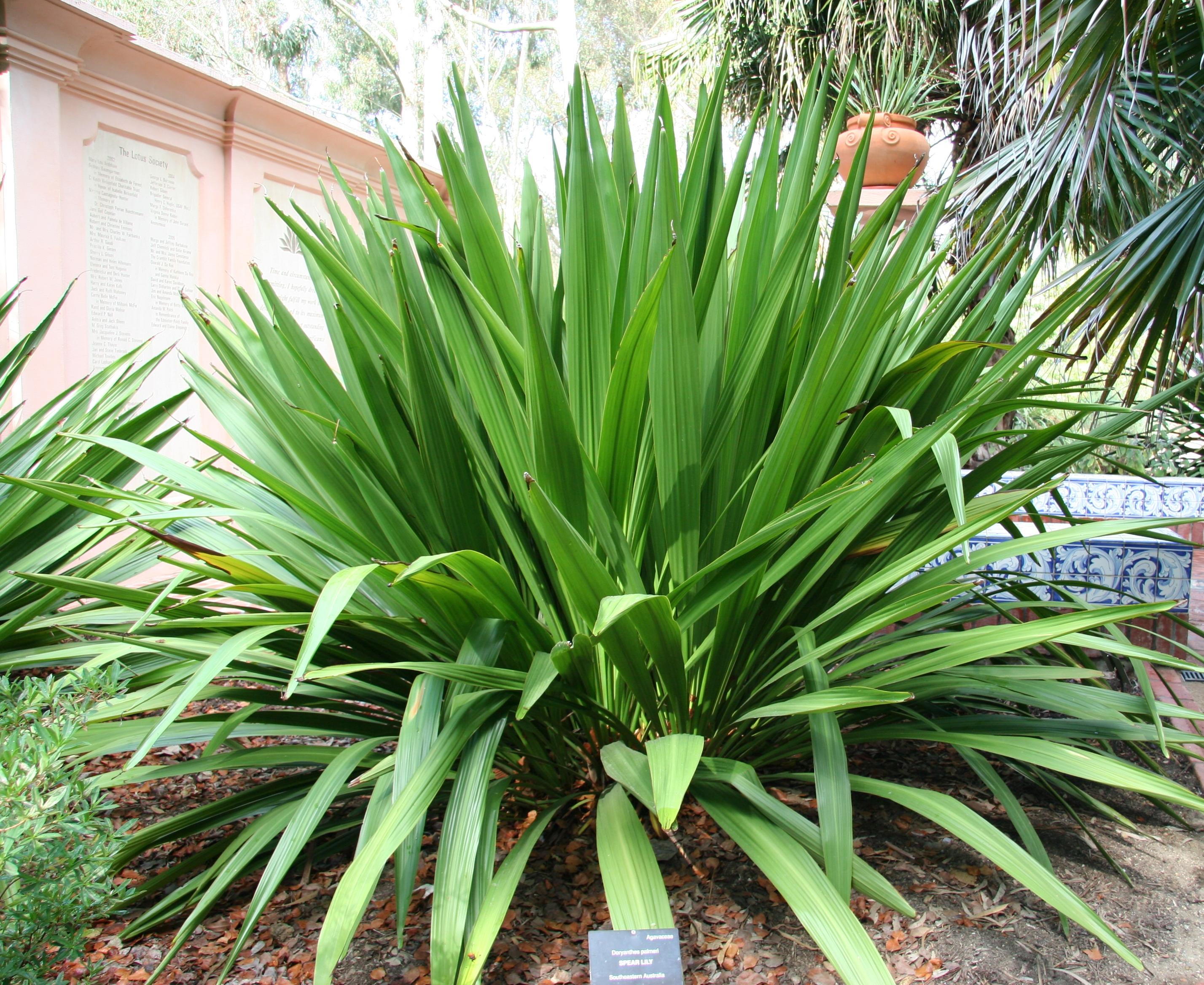 File Doryanthes Palmeri Australian Garden Lotusland Jpg