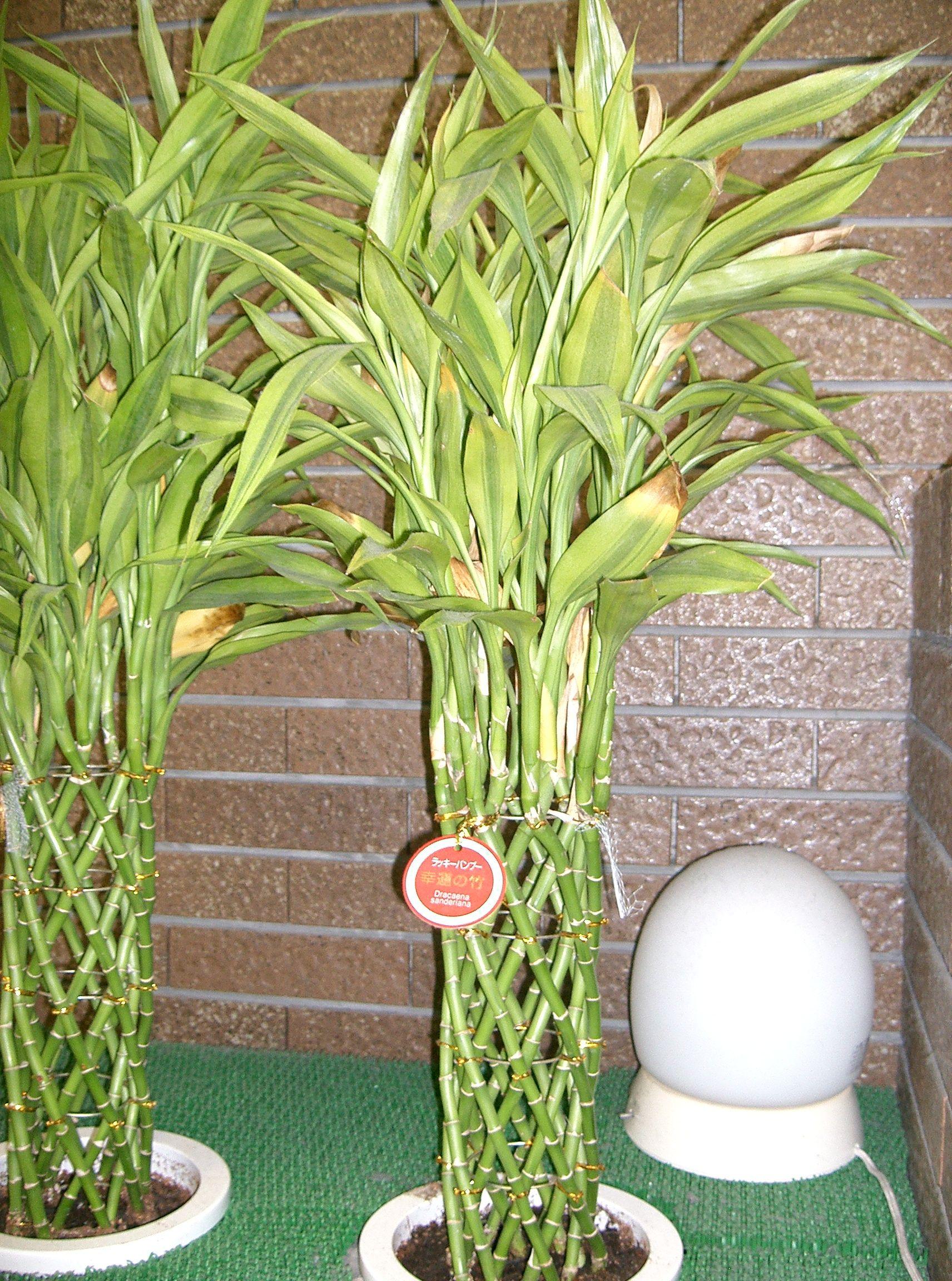 Драцены сандериана уход в домашних условиях