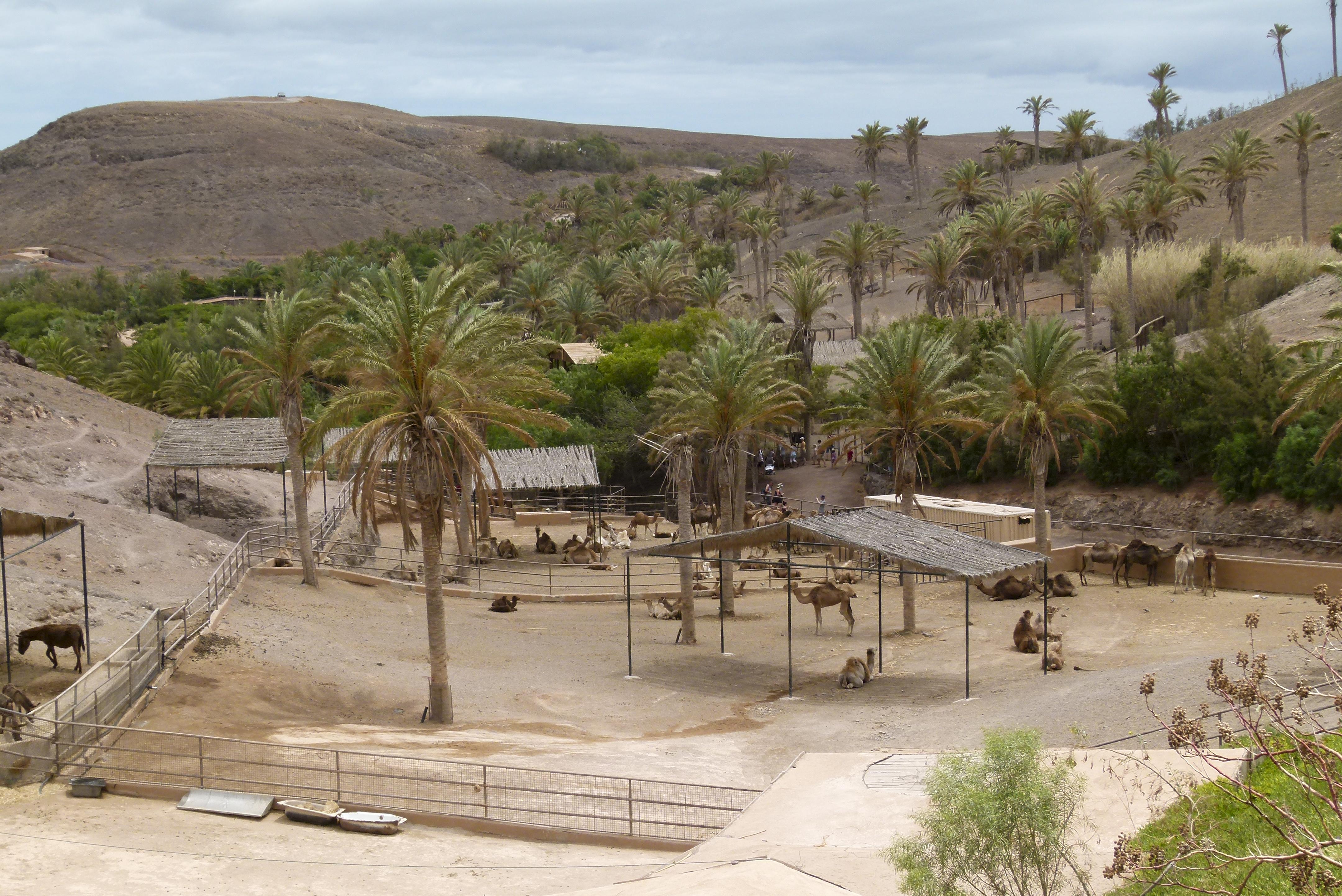 File:Dromedary compound - Oasis Park - Fuerteventura.jpg