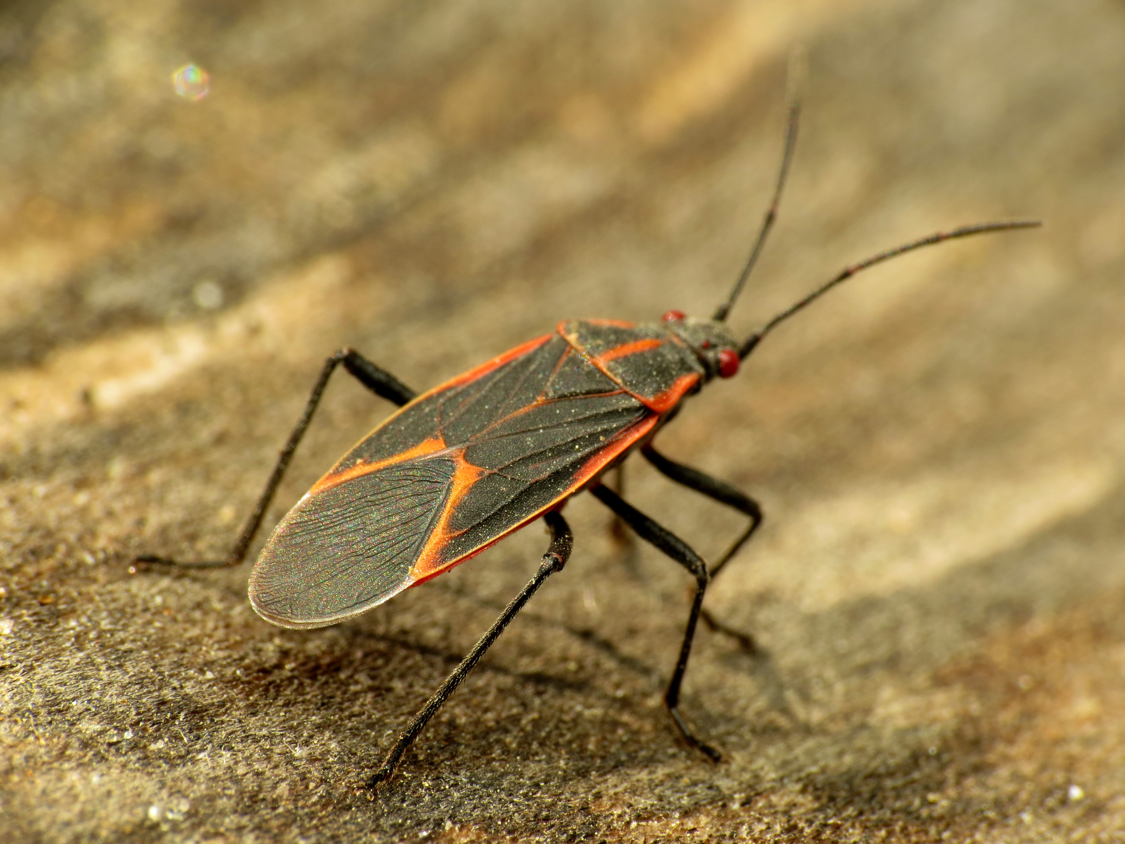 How To Get Rid Of Boxelder Bugs Permanently Solutions Pest Lawn