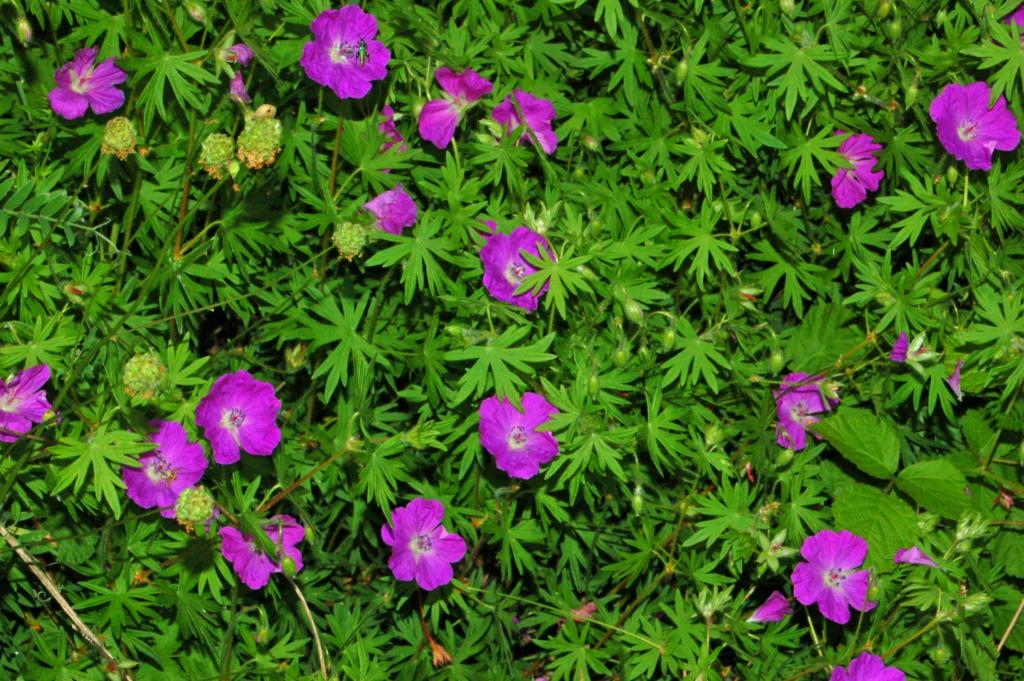 File:Geraniaceae - Geranium sanguineum-2.JPG - Wikimedia