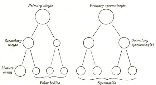Gametogenesis Wikipedia Bahasa Indonesia Ensiklopedia Bebas