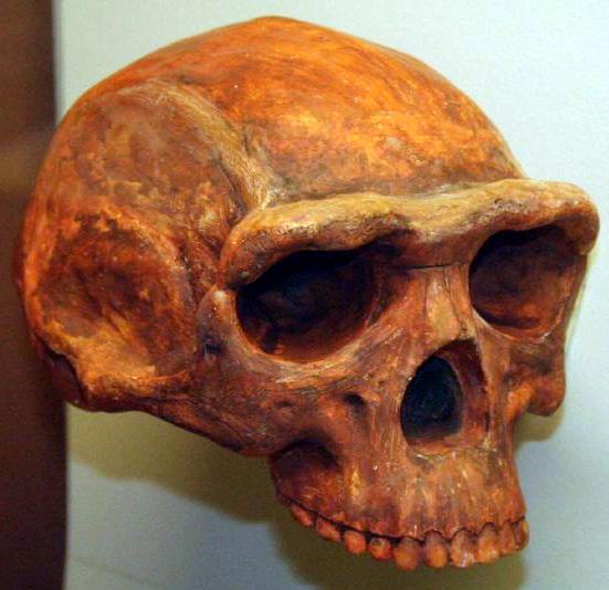 http://upload.wikimedia.org/wikipedia/commons/c/cd/Homo_erectus.jpg