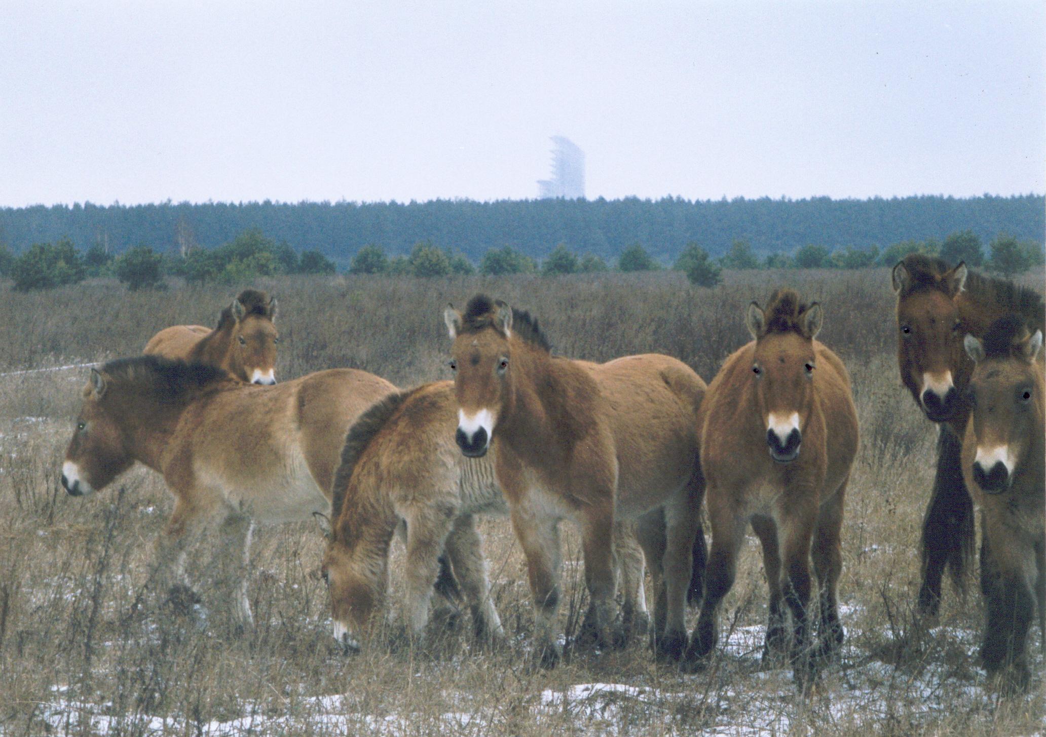 Horses in Chernobyl, Ukraine.jpg
