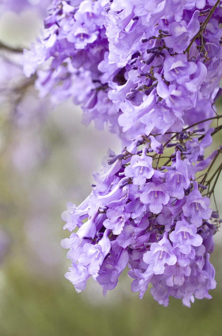 Fiori Di Colore Viola Nomi.Jacaranda Wikipedia