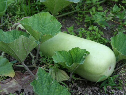 Bottle Gourd or Calabash. Photo credit: Wikipedia