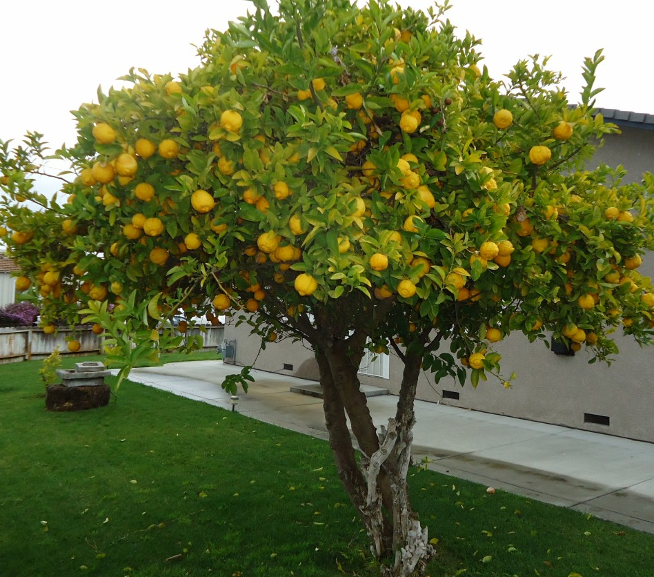 California Lemon Law >> File:Lemon Tree in Santa Clara California.jpg - Wikimedia Commons