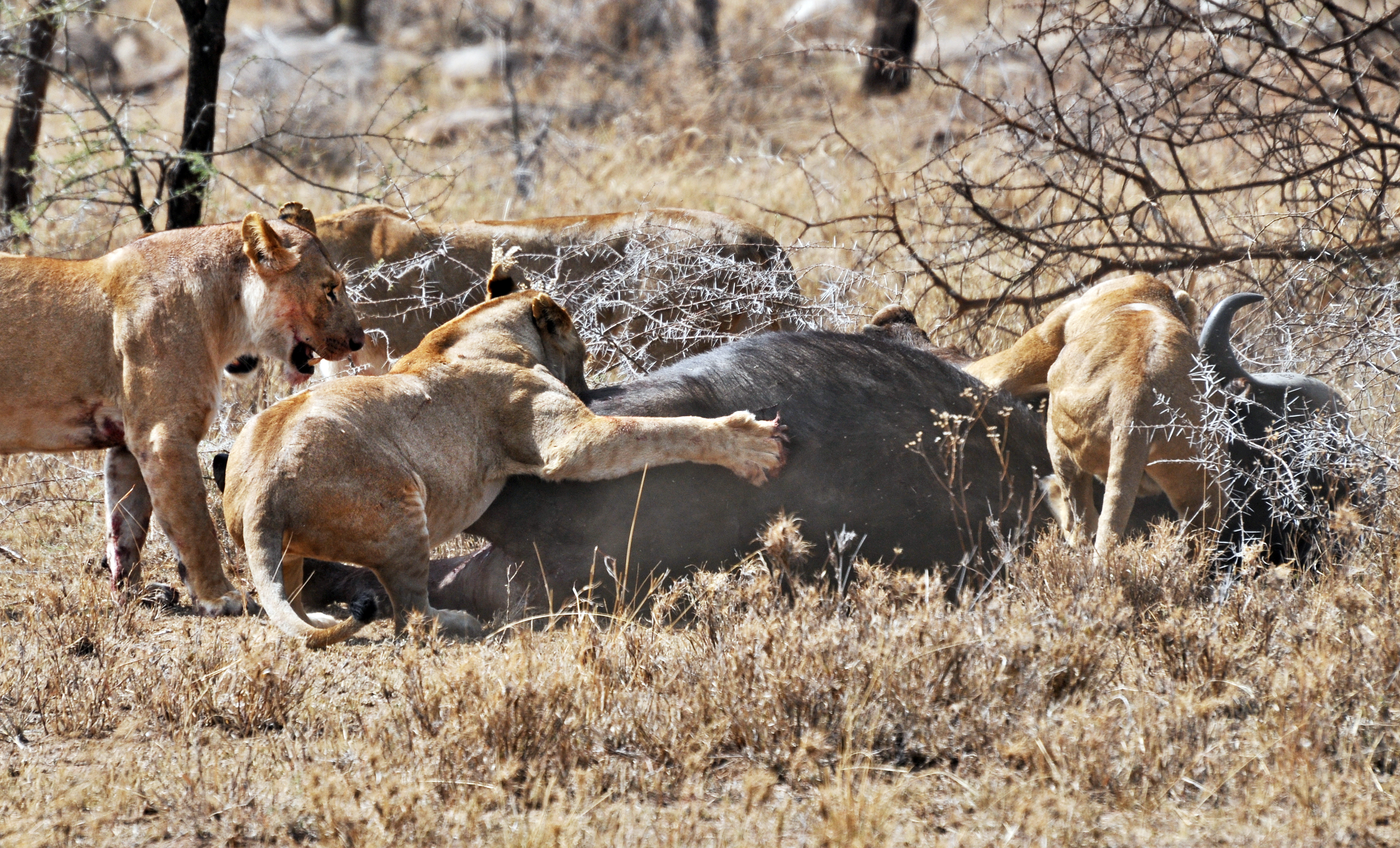 http://upload.wikimedia.org/wikipedia/commons/c/cd/Lions_taking_down_cape_buffalo.jpg