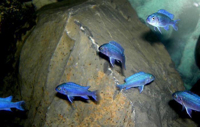 حيوانات باللون الازرق Maylandia_callainos_