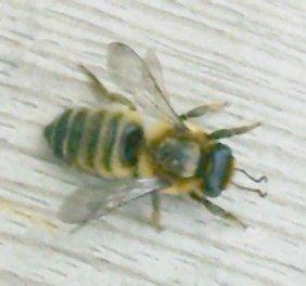 Fichier:Megachile sp1pl.jpg