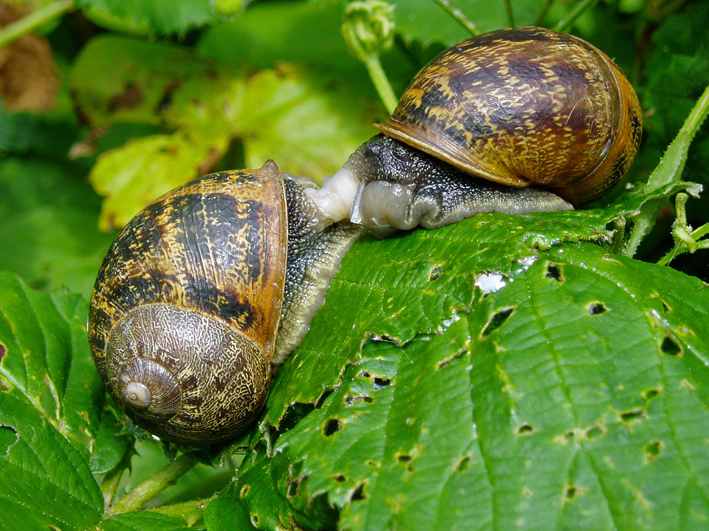 File mollusc garden snails 20070712 wikimedia for Caracoles en el jardin