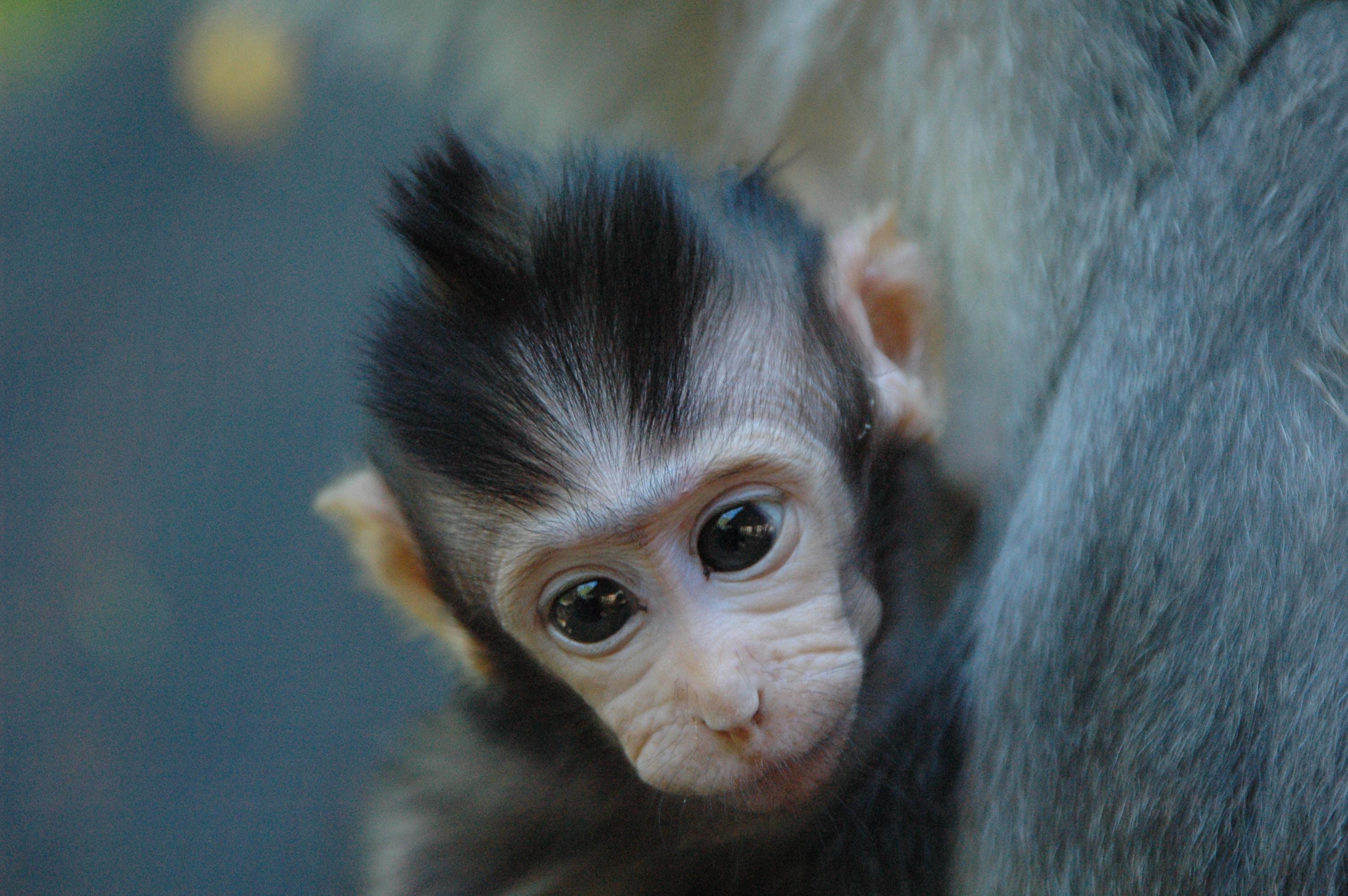 Description Monkey bab...