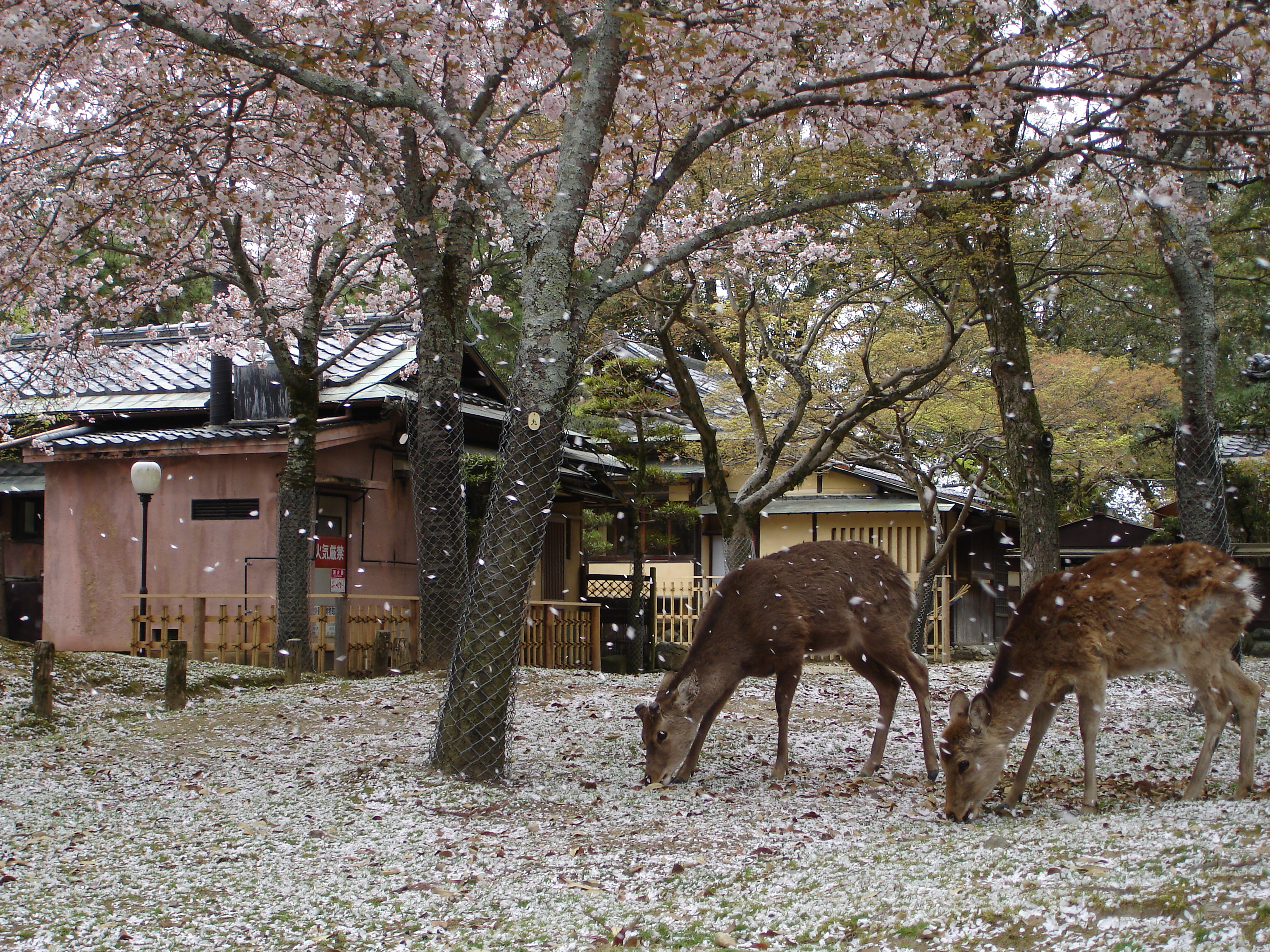 Nara Japan  City new picture : Nara Japan 1 Wikimedia Commons