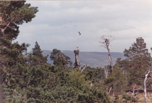Osprey returning to the nest - geograph.org.uk - 1031232