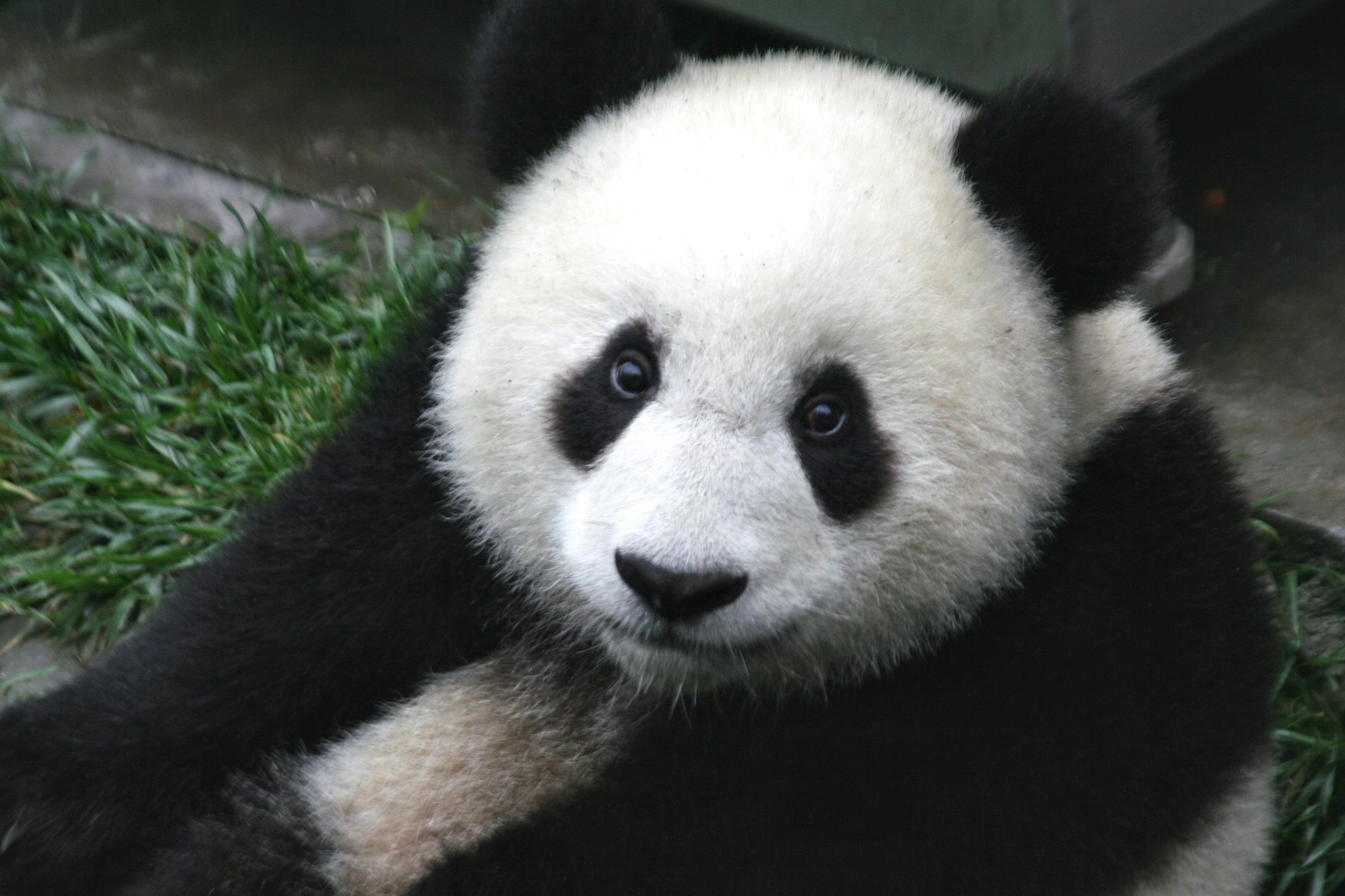 Not Necessarily Gone Panda_Cub_from_Wolong,_Sichuan,_China