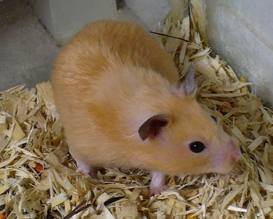 peach the pet hamster.jpg