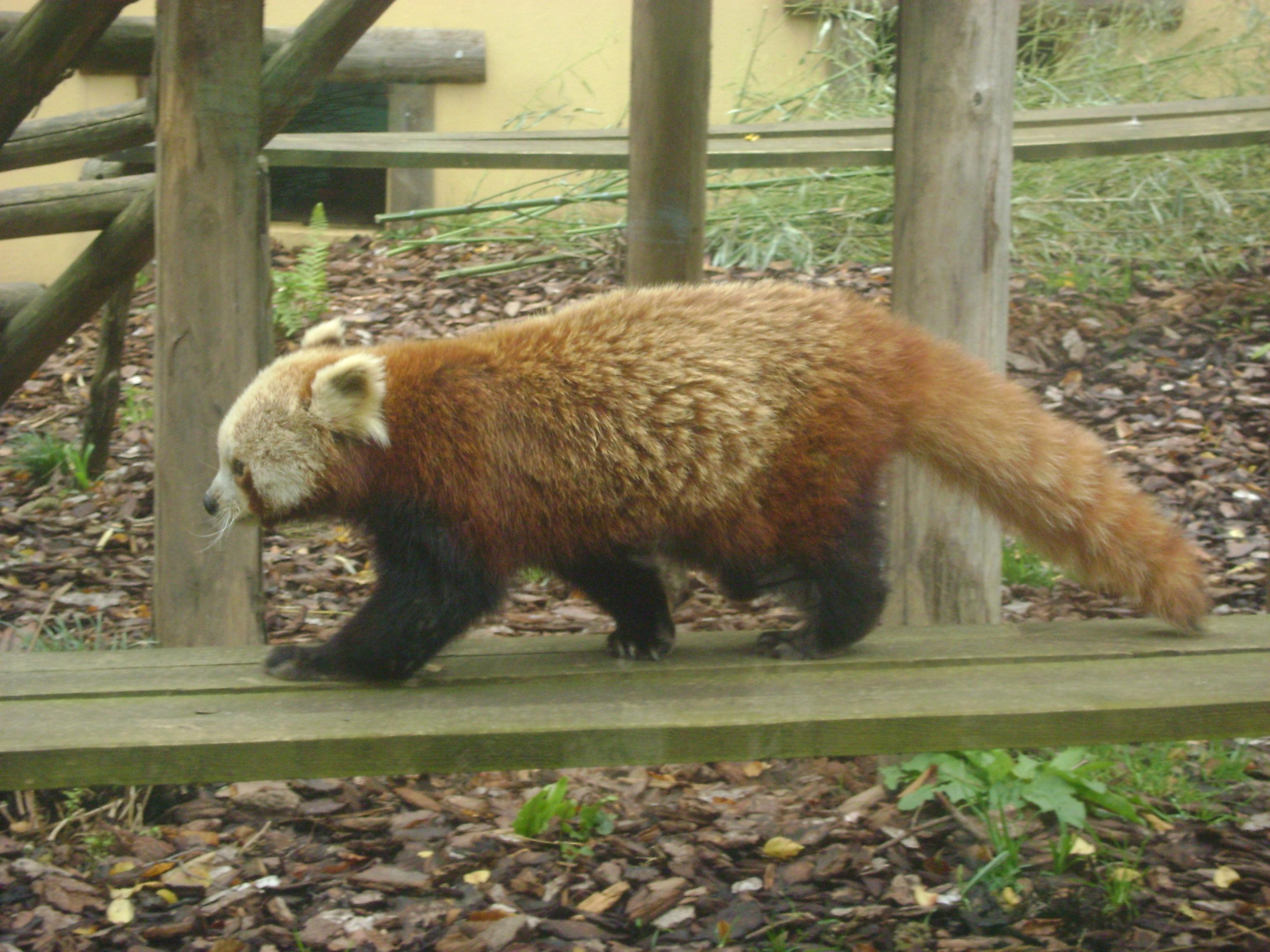 Filepetit Panda Rouxjpg Wikimedia Commons