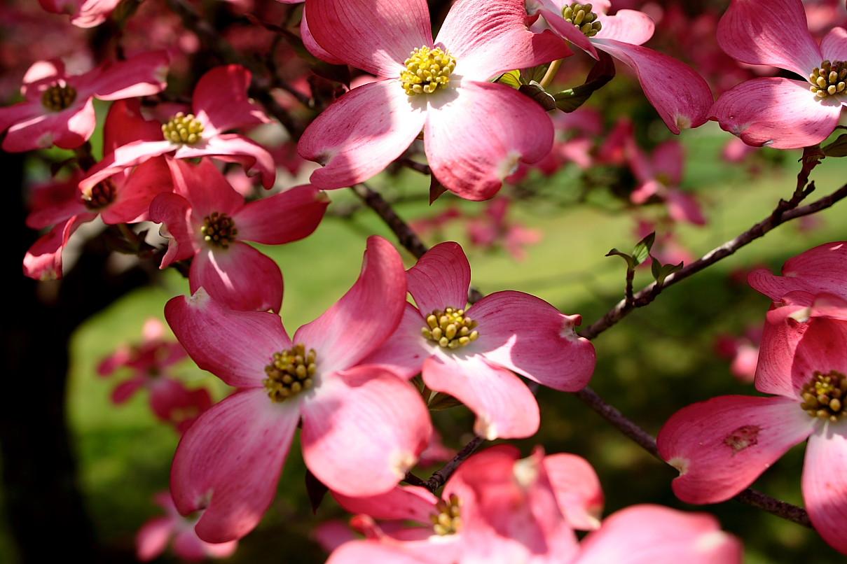 File:Pink-dogwood-blooms - West Virginia - ForestWander